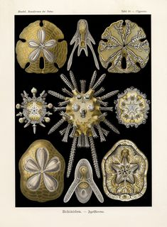 Sand Dollar Print Ernst Haeckel Art 58 by FleurDeNature Art Nouveau, Ernst Haeckel Art, Science Drawing, Natural Form Art, Antique Illustration, Sea Illustration, Botanical Illustration, Plate, Art Prints For Sale
