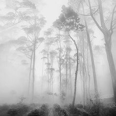 Trees in a foggy forest | photography black white . Schwarz-Weiß-Fotografie . photographie noir et blanc | Photo: Hengki Koentjoro |