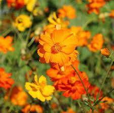 cosmos flowers images - Google Search Cosmos Flowers, Buy Flowers, Orange Flowers, Images Google, Annual Plants, Orange Blossom, Flower Seeds, Horticulture, Garden Inspiration