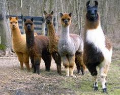 alpaca and a llama:  Andean cousins
