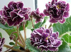 African Violet plug plant- EK Magic of Love ( Russian variety)