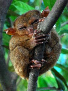 Koboldmaki - Am Baum festhalten, du dich musst!