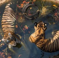 I'm a tiger. Don't pool me inside your brain next to the Daisy's and coffee beans. I am more than just a small detail in your life.🐯-aileen