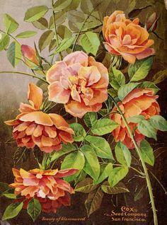 'Beauty of Glazenwood' Rose, 1904  | Vintage Seed Catalog