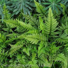 Polystichum tsus-simense Fern - palmcentre.co.uk