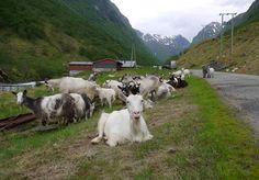 Gibt es einen Duft für ein Land? Oder eine Farbe? Dann ist sie grün für Norwegen. Blau und Grün für Fjordnorwegen. Und sein Geruch? Nach Natur. Nach Kräutern, Schafen und Ziegen. Fisch und Wasser.