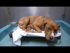 ♡ SAFE ♡ BISHOP – A1081071  ***RETURNED 08/19/16***  NEUTERED MALE, TAN / WHITE, AM PIT BULL TER MIX, 4 yrs STRAY – ONHOLDHERE, HOLD FOR ID Reason DESTRUCTIV Intake condition EXAM REQ Intake Date 08/19/2016, From NY 11436, DueOut Date08/26/2016