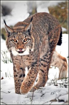 ☀Lynx in Snow by *brijome