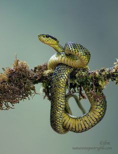 The real deal! A lot more dangerous than our rubber snakes! (And not as stretchy!)