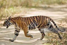 Solid-Faced Canvas Print Wall Art Print entitled Bengal Tiger Panthera tigris tigris walking in a forest Bandhavgarh National Park Umaria District Madhya Pradesh India Siberian Tiger, Bengal Tiger, Panthera Tigris Tigris, Tiger Walking, Tiger Art, Tiger Drawing, Tiger Cubs, Tiger Tiger, New Zealand