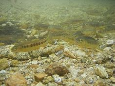 Did you know? Official State Freshwater Fish of CA is the golden trout. Population is down to 250.