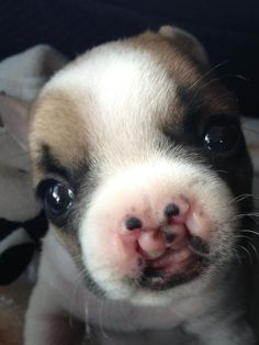 Meet A Tiny French Bulldog Puppy NamedLentil  Lentil was born with a cleft palate,