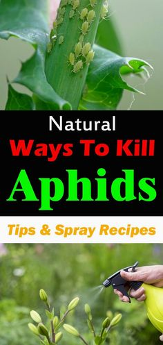 If you don't want to use chemicals, there are natural ways to kill aphids. A much cleaner and safer approach to combat these pesky garden pests. #gardeningideas