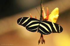 Varios minutos transcurrieron antes de que se apostara una hermosa mariposa sobre la flor en  la que ajuste el lente de mi cámara, al final una foto que me encanta, Xcaret Quintana Roo, México 2010