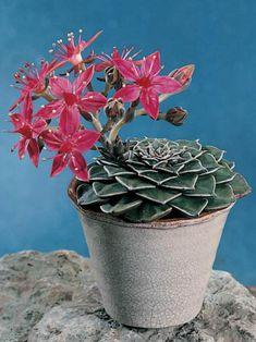 Blooming Succulents, Growing Succulents, Cacti And Succulents, Planting Succulents, Cactus Plants, Planting Flowers, Unusual Plants, Cool Plants, Orquideas Cymbidium