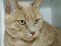 RUSTY is an adoptable Domestic Short Hair Cat in New York, NY. A volunteer writes: RUSTY is a regal senior all alert when you come to his cage. He is a gem of a gentleman and sweet as sugar. A perfect...