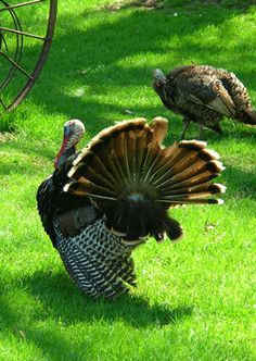 Turkey Hunting Quick Tips: