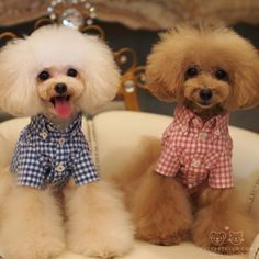 We are toy poodle brothers from Japan. Cream one is Pourqoui and Apricot one is Brulee. Poodle Grooming, Dog Grooming, I Love Dogs, Cute Dogs, Small Poodle, Poodle Haircut, Poodle Cuts, French Dogs, Tea Cup Poodle