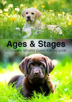 , Puppy Training Schedule: Ages and Stages in Labrador Puppy Training , Wondering what your puppy should be doing at 4 months or 5 months? From 8 weeks on our puppy training schedule guides you through ages and stages of t. Labrador Puppy Training, Puppy Training Guide, Puppy Training Schedule, Training Your Dog, Labrador Puppies, Potty Training, Toilet Training, Crate Training, Corgi Puppies