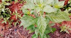 tanam kopi - Google Penelusuran Plant Leaves, Flowers, Plants, Google, Florals, Plant, Flower, Bloemen, Planting