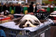 Celebrating dogs at Crufts 2015