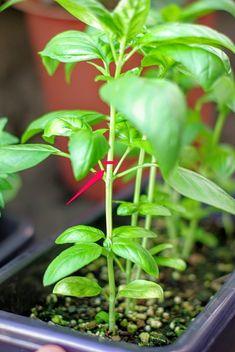 Yoko, Growing Vegetables, Basil, Knowledge, Gardening, Green, Plants, House, Fruits And Vegetables