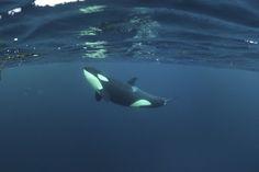 Killer Whale - Orca (Orcinus Orca) Just Below the Surface, Kristiansund, Nordmøre, Norway Photographic Print Le Morse, Kristiansund, Parc A Theme, Ocean Creatures, Killer Whales, Ocean Life, Marine Life, Nature Pictures, Dolphins