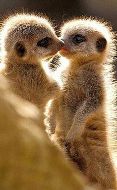 animals kissing - Really A. Animals Kissing, Cute Baby Animals, Animals And Pets, Funny Animals, Wild Animals, Cute Creatures, Beautiful Creatures, Animals Beautiful, Majestic Animals