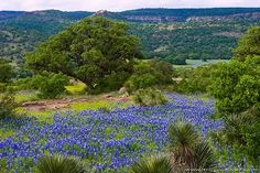 Willow City Loop in Hill Country, Texas - Drive Willow City Loop north of Fredericksburg in bluebonnet season. Off Texas 16, 13 miles ramble over cattle guards, through pastures (with actual cows in them) up bluffs and down valleys where, if you're lucky, you'll see what appear to be rivers of the state flower. The season typically peaks sometime in April. More at fredericksburgtexas-online.com/WillowCityLoop