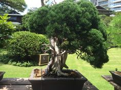 520 Year old Bonsai