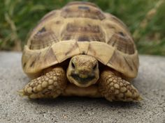 A Greek Tortoise, our newest pet!