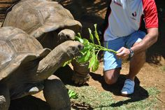 A visitor feeding a giant tortoise at La Vanille crocodile farm, Mauritius