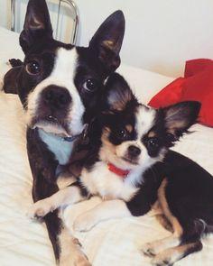Boris (anciennement Frodo fils de Gypsy et Sammy)  avec son meilleur ami.  La complicité est flagrante   www.machupitouchihuahua.com