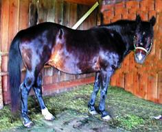 Equine Sunbleaching vs. Dark Summer Coats