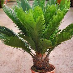Japonais Palmfarn-Cycas revoluta dans le 14 cm pot
