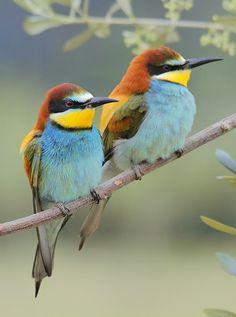 Birds in Love Cute Birds, Pretty Birds, Small Birds, Little Birds, Colorful Birds, Most Beautiful Birds, Animals Beautiful, Bee Eater, Tier Fotos