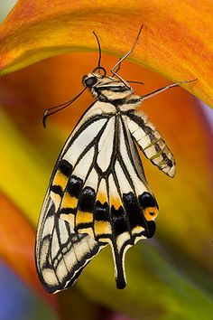 papilio xuthus-chinese yellow swallowtail butterfly