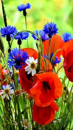 Close-up of same wildflowers, I think poppies and cornflowers combine beautifully. Blue Flowers, Wild Flowers, Beautiful Flowers, Flowers Nature, Spring Flowers, Beautiful Nature Spring, Red Poppies, Flower Power, Planting Flowers