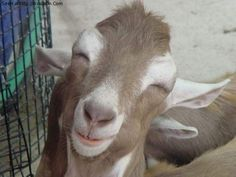 """Funny Goat 