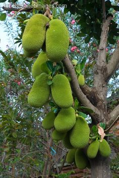 Jack Fruit tree we have these in Guam love it!!! However standing under the trees can be sketchy lol
