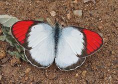 https://flic.kr/p/BQ5fdJ | Crimson Tip, Colotis danae (male) | Chinnar N.P. Western Ghats, Kerala, India
