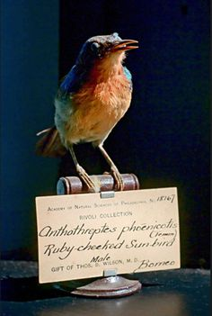 Ruby-checked Sun-Bird, from the collection at The Philadelphia Academy of Natural Sciences