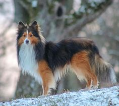 Barney SHETLAND SHEPHERD Dog From #Germany Instagram @sheltie_barney Mini Collie, Stop Animal Cruelty, Blue Merle, Shetland Sheepdog, Sheltie, Shepherd Dog, Beautiful Dogs, Foxes, Germany