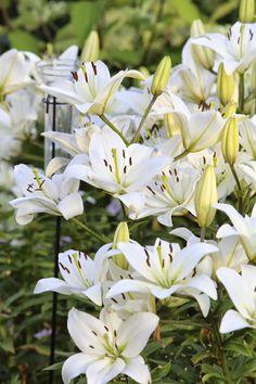 Versoja Vaahteramäeltä: tarhasarjalilja Moon Garden, White Flowers, Plants, Planters, Plant, Planting