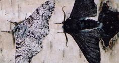 BLACK AND WHITE As soot settled onto trees in Britain during the Industrial Revolution, a black version of the peppered moth (right) started to overtake the mottled-wing form (left). Scientists have now found the mutation that caused the color shift in a gene called cortex. ~~ Ilik Saccheri