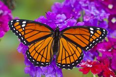 The Viceroy Butterfly on Verbena, Limenitis archippus, photograph by:  Darrell Gulin