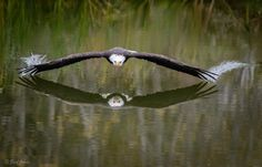 Bald headed eagle skimming the water.