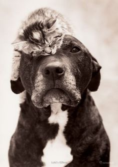 """Such a cute duo! I love how completely relaxed the little kitten is and how the sweet doggy let him sleep on top of him! ❤ (I tend to think of dogs and cats as a """"he"""" since all the pets we've ever had were males. Animal Gato, Amor Animal, Love My Dog, Baby Animals, Funny Animals, Cute Animals, Animal Memes, Wild Animals, Tier Fotos"""