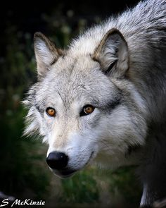Garm || Darker, brindled green fur, eyes yellower (psychological effect of visible white sclera in animals making them seem more intelligent/relatable/human)