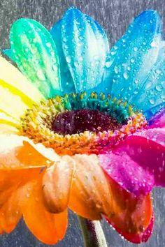 Multicolored daisy image via WallpapersHD